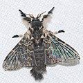Lasiocampid Moth (Labedera primitiva) (39629633665).jpg