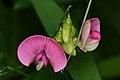Lathyrus sp. - Kitchener, Ontario.jpg