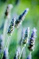 Lavender (4763498636).jpg