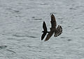 Leach's Storm Petrel escapes Merlin 3.jpg