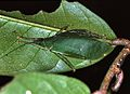 Leaf Katydid (Mustius sp. ?) (7839002728).jpg