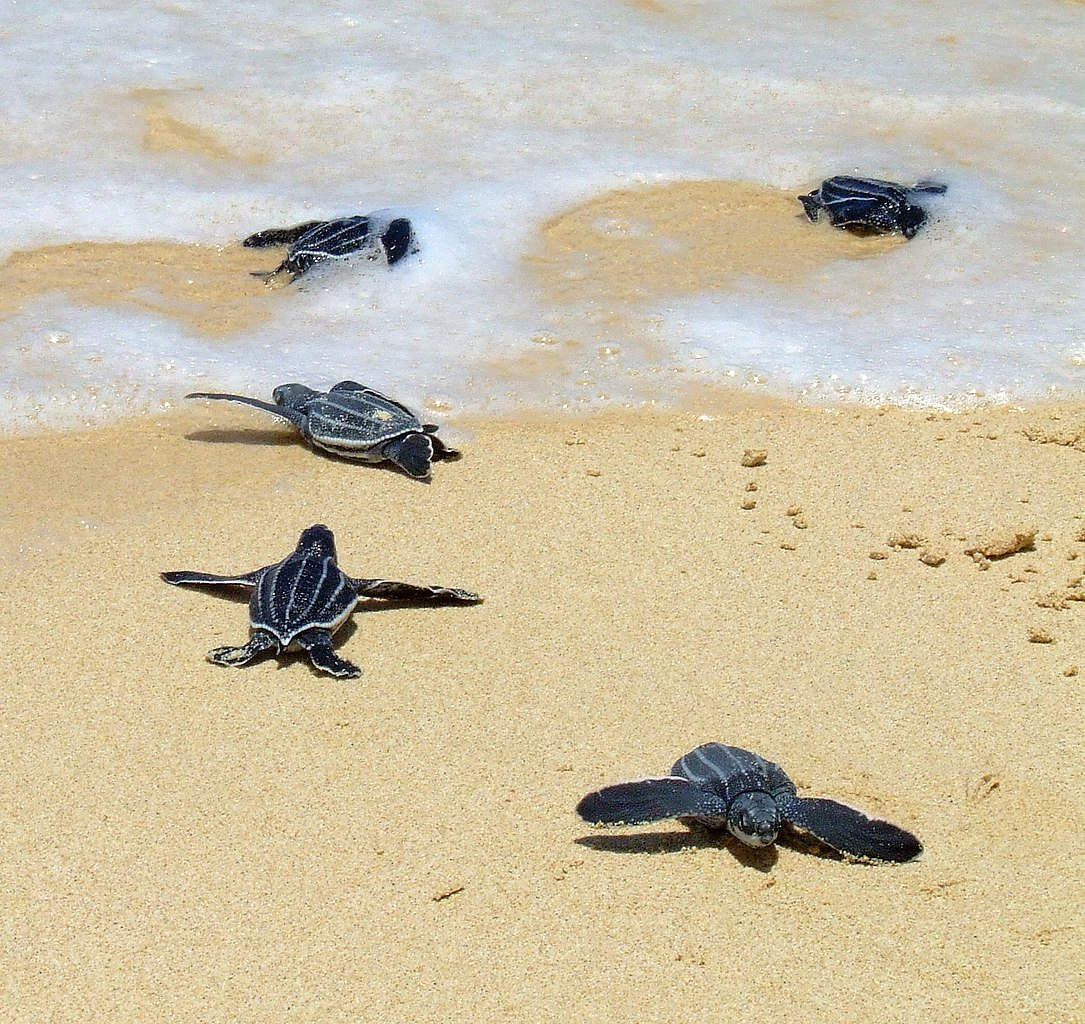 A Sea Turtle S Behavior For Kids