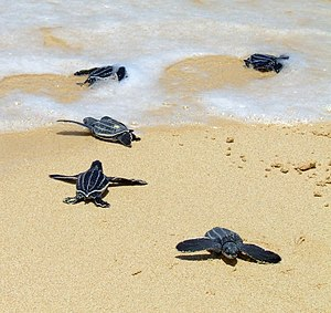 Leatherback sea turtle - Hatchlings crawling to the sea