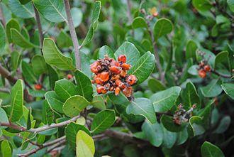 Rhus integrifolia - Rhus integrifolia: Lemonade berry, fruit and leaves