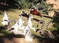 Lemuri al sole.JPG