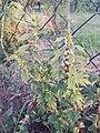 Leonurus cardiaca subsp. cardiaca sl4.jpg
