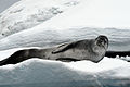 Leopard seal basking on Iceberg.jpg