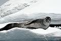 Leopard seal basking on Iceberg.jpg