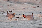 Less Prairie Chicken pair.jpg