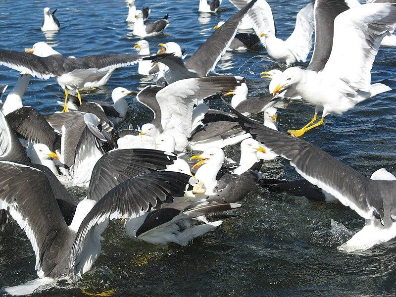 Lesser Black-backed Gulls.jpg