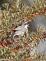 Lesser Whitethroat (Sylvia curruca) (37595120395).jpg