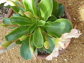 Lewisia tweedyi (Portulacaceae) plant.jpg