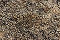Lichen (28146710887).jpg