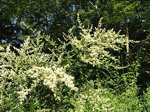 Ligustrum quihoui - Image: Ligustrum quihoui Botanischer Garten, Frankfurt am Main DSC02543