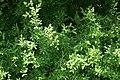 Ligustrum vulgare PID1050-3.jpg