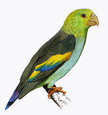 Touit Batavicus o periquito sietecolores 220px-Lilac-tailed_Parrotlet