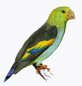 Lilac-tailed Parrotlet.JPG