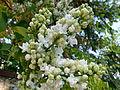 Lilas blancs.JPG