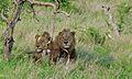 Lion (Panthera leo) (6005766784).jpg