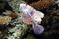 Lisbon, Oceanarium, Red lionfish.JPG