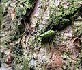 Listohlod zlatozelený (Phyllobius argentatus) IMG 4060.JPG