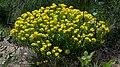 Lithospermum caroliniense Arkansas.jpg