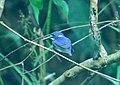 Little Kingfisher (Ceyx pusillus) (30552449574).jpg