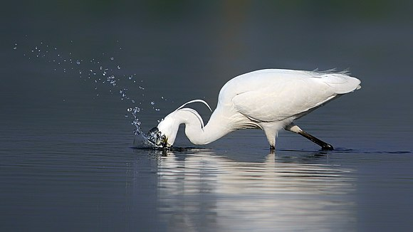 Little egret at Sundarbans East Wildlife Sanctuary.jpg