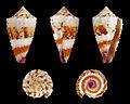 Lividoconus floridulus 01.JPG
