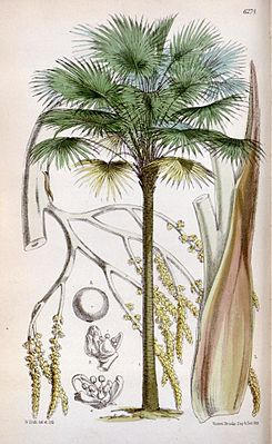 Livistona australis, Illustration