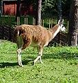 Llama in Sweden2.jpg