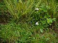 Lloydia longiscapa (7851456906).jpg