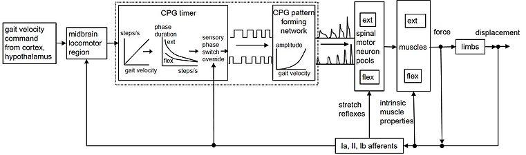 Locomotor CPG schematic.jpg