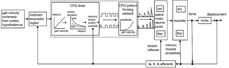 Locomotor CPG schematic