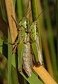 Locust November 2007 Osaka Japan.jpg