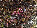 Loiseleuria procumbens greplyng Blefjell IMG 1568.jpg