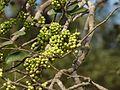 Lokhandi Jhad (Marathi- लोखंडी झाड) (3295470588).jpg