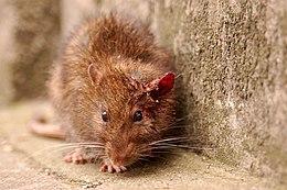 Description de l'image London Scruffy Rat.jpg.
