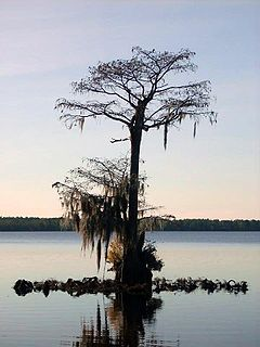 Lone Cypress in Singletary Lake.jpg
