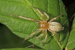 Gambe lunghe Sac Spider - Cheiracanthium sp, Pateros, Washington.jpg.