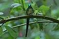 Long-tailed Sylph (Aglaiocercus kingii) 2015-06-16 (5) (38520319130).jpg