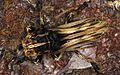 Longhorn Beetle (Xylorhiza adusta) (8753442195).jpg