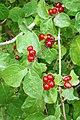 Lonicera xylosteum. Cereciellu (frutu).jpg