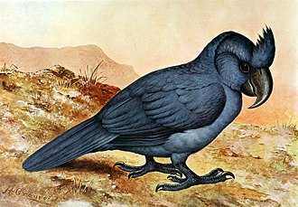 Broad-billed parrot - 1907 restoration by Henrik Grönvold (based on the Gelderland sketch), showing the bird as entirely blue, which may be inaccurate