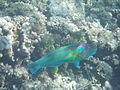 LordHoweIsland NorthBay Reef 20.JPG