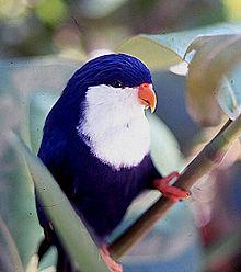 Vini Peruviana o Lori Monjita 220px-Lori_p%C3%A9ruviana
