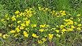 Lotus corniculatus Komonica zwyczajna 2020-05-31 02.jpg