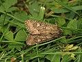Luperina testacea (14633809287).jpg