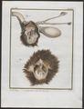 Lutra vulgaris - ingewanden - 1700-1880 - Print - Iconographia Zoologica - Special Collections University of Amsterdam - UBA01 IZ22500061.tif