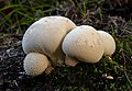 Lycoperdon pyriforme,(Pear shaped puffball) (47675476392).jpg